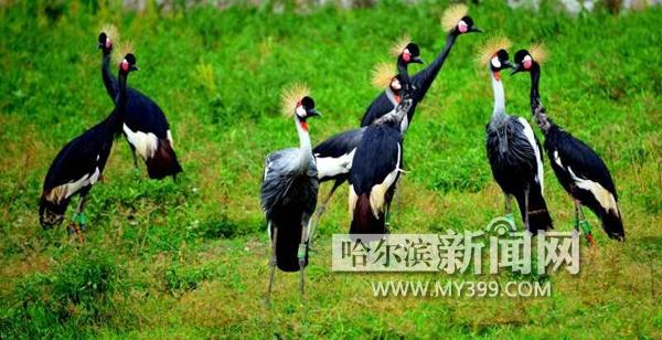 """北方森林动物园""""歌舞明星""""冠鹤起舞高歌求偶忙"""
