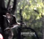 翅膀硬了 85只小鸳鸯勤练飞行 - 哈尔滨新闻网