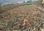 黑龙江高标准玉米秸秆还田逾200万亩 是2016年的两倍 - 新浪黑龙江