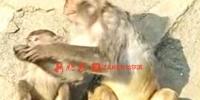 北方森林动物园有个吃货猴妈 小猴抢不到想吃的花生 - 新浪黑龙江
