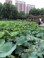 群力雨阳公园万株荷花等你赏 本月末将迎盛花期 - 新浪黑龙江