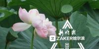 哈尔滨这俩公园花都开好了 赏荷正当时还不收门票 - 新浪黑龙江