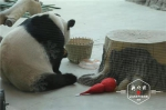 """亚布力的熊猫姐弟吃着""""冰糕""""、吹着空调 恣意玩耍 - 新浪黑龙江"""