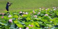 这个夏天怎能不赏荷?哈尔滨市一周后将迎最佳观赏期 - 新浪黑龙江